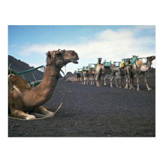 Kamel Lanzarote Vykort
