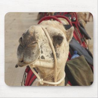 Kamel på kabelstranden, Broome Musmatta