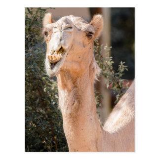 Kamel som stirrar att tugga för stunder vykort