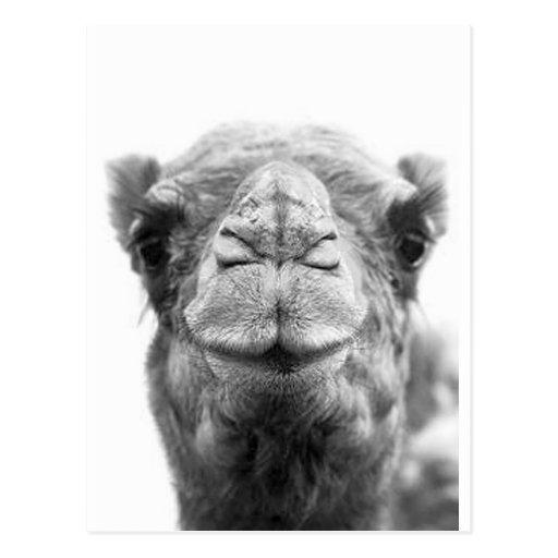 Kamlet kysser det roliga Closeupfotoet Vykort