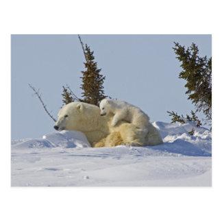Kanada Manitoba, Wapusk nationalpark. Polar 2 Vykort
