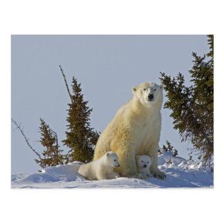 Kanada Manitoba, Wapusk nationalpark. Polar 4 Vykort