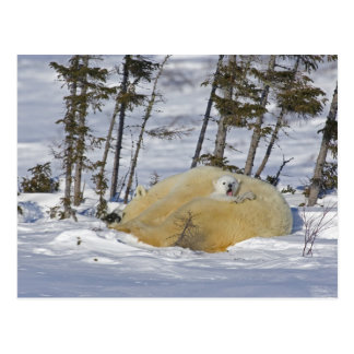 Kanada Manitoba, Wapusk nationalpark. Polar 6 Vykort