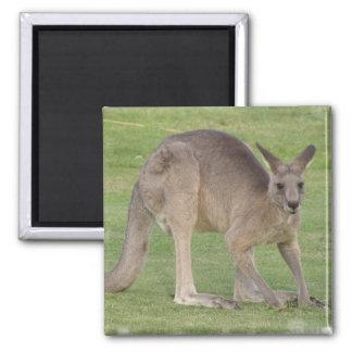 Kängurun kvadrerar magneten magnet