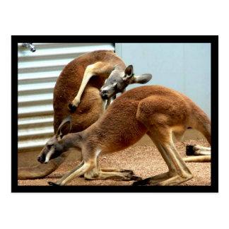 Kängurur Vykort