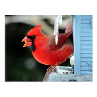Kardinal på is - fågel vykort