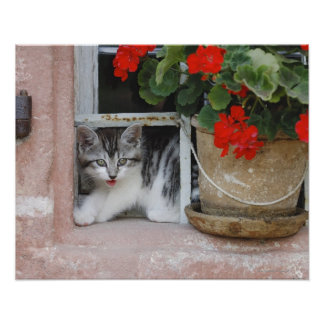 Kattunge tittar ut fönster poster