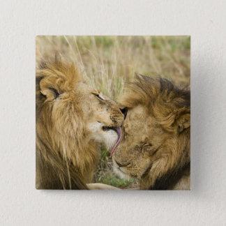 Kenya Masai Mara. Närbild av ett male lejont Standard Kanpp Fyrkantig 5.1 Cm