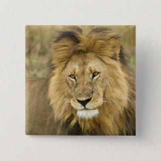 Kenya Masai Mara. Närbild av lejont. Kredit som: Standard Kanpp Fyrkantig 5.1 Cm