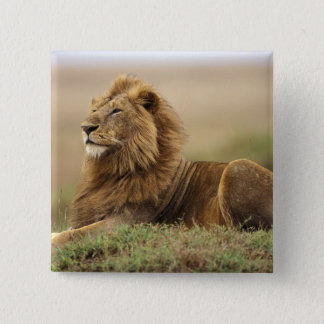 Kenya Masai Mara. Vuxen manlig som är lejon på ter Standard Kanpp Fyrkantig 5.1 Cm
