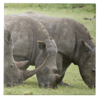 Kenya sjöNakuru nationalpark. Vit tre Kakelplatta