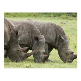 Kenya sjöNakuru nationalpark. Vit tre Vykort