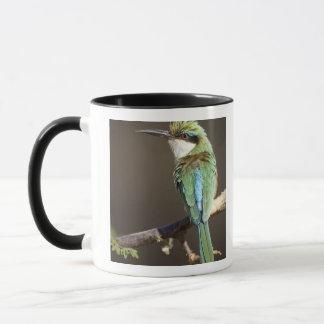 Kenya. Somalisk bi-eater fågel på limben. Kredit