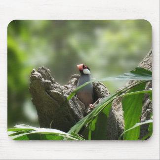 Kika den Java sparrowen Musmatta