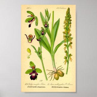 Klipsk Orchid (Ophrysinsectiferaen) Poster