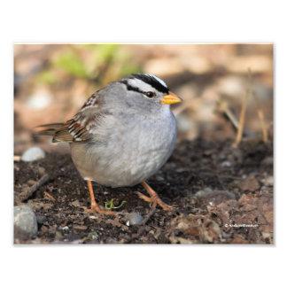 Knubbig Vit-Krönad Sparrow i vintersolen Fototryck