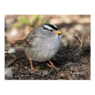 Knubbig Vit-Krönad Sparrow i vintersolen Vykort