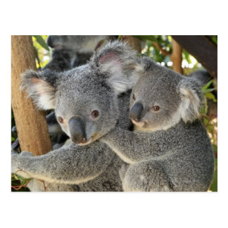 KoalaPhascolarctoscinereus Queensland. Vykort