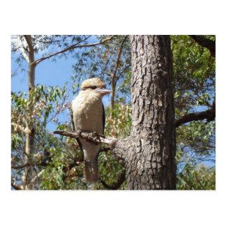 Kookaburra i träd vykort
