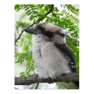 Kookaburra vykort