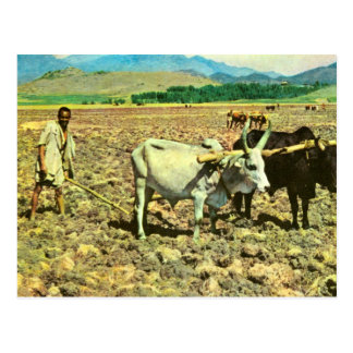 Kopiavintage Etiopien, att dra för nötkreatur Vykort