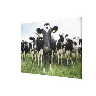 Kor som står i en ro, tittar kameran canvastryck