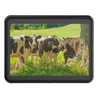 Kor under träd i lantgårdfält, Maine Skydd För Dragkrok