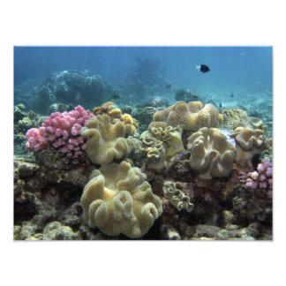 Korall Agincourt rev, underbar barriärrev, Fototryck