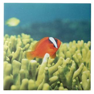 Korallrev som vimlar med den tropiska fisken kakelplatta