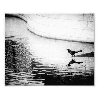 Kråka reflekterad i vatten - B&W fotograferar Fototryck
