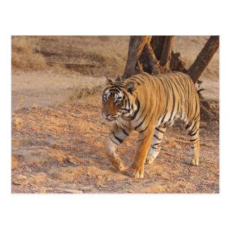 Kunglig Bengal tiger på flyttningen, Ranthambhor Vykort