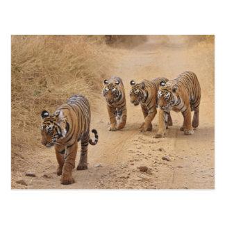 Kungliga Bengal tigrar på spåra, Ranthambhor 8 Vykort