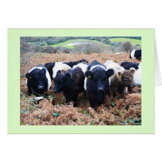 Kutit Galloway nötkreatur i Cornwall Hälsningskort