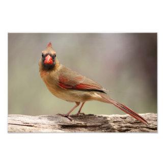 Kvinnlig kardinal fototryck