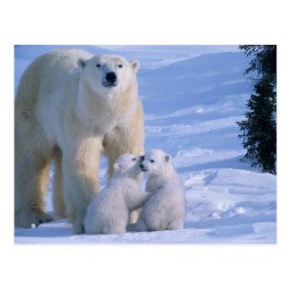 Kvinnlig polar björn som står med 2 ungar på henne vykort