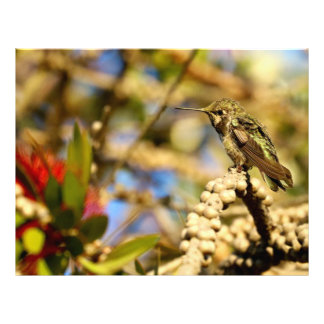 Kvinnliga Annas Hummingbird, Kalifornien, foto Brevhuvud