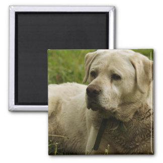 Labrador foto magnet