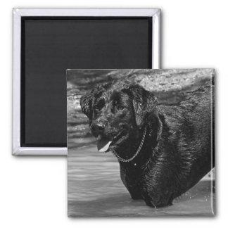 Labrador Retriever i vatten Magnet