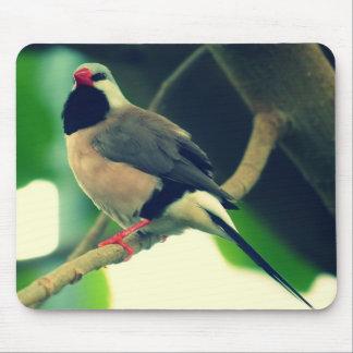 Lång-tailed Finch Musmatta