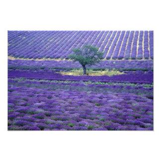 Lavendelfält, Vence, Provence, frankrike Fototryck