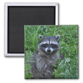 Le för Raccoon Magnet