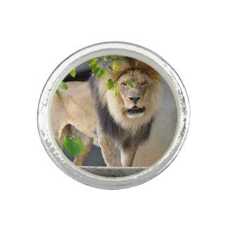 Lejon djurlivring fotoring