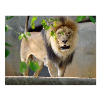 Lejon djurlivvykort vykort