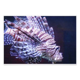 Lejon fisk fototryck