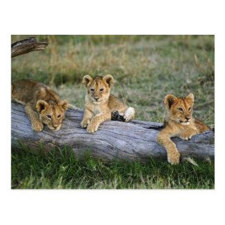Lejona ungar loggar på, pantheraen leo, masaien vykort