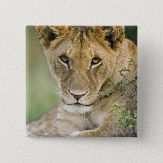 Lejont Panthera leo, Masai Mara, Kenya Standard Kanpp Fyrkantig 5.1 Cm