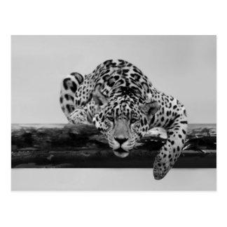 Leopard i svartvitt vykort