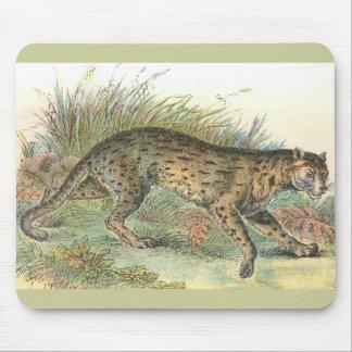 Leopard-Katt (Javan variation) Felisjavanensis Musmatta