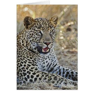 Leopard Pantherapardus, Samburu lek Hälsningskort