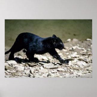 Leopard-svart arrangera gradvisunge (blöten från poster